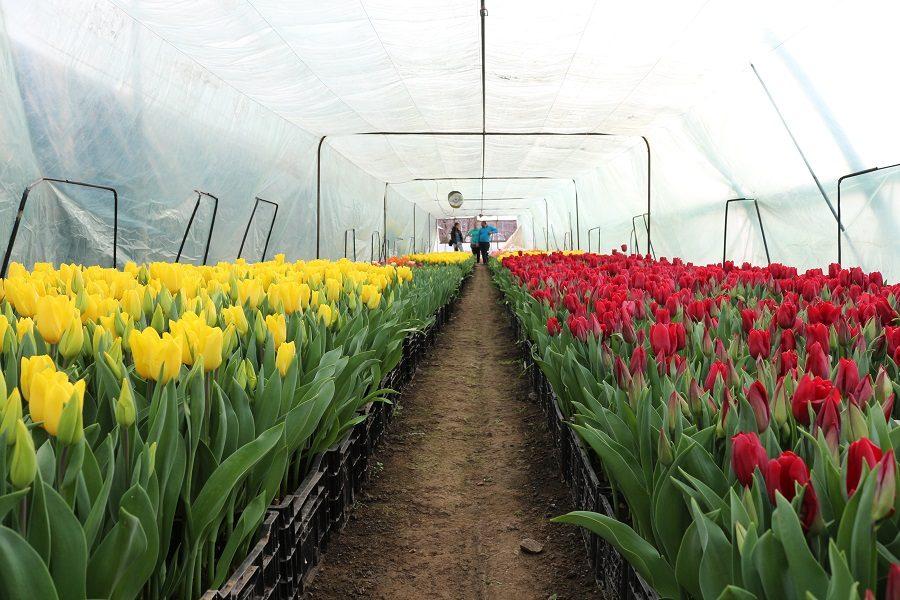 Тюльпаны круглый год в теплице