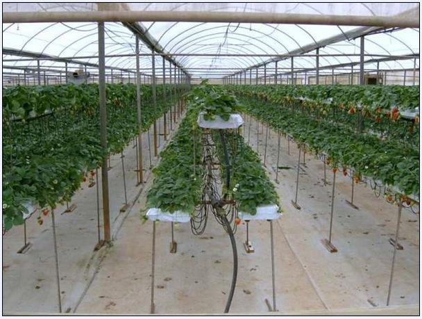 Промышленная теплица для выращивания клубники 504