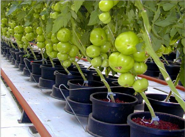 Как правильно выращивать помидор в домашних условиях 29