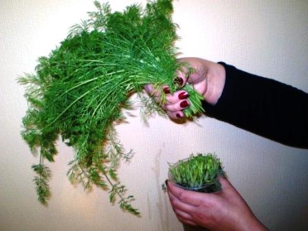 О выращивание укропа на гидропонике 982